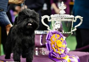 Красивая собака 300x208 В США выбрали самую красивую собаку