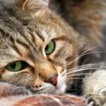 Лечение олезней глаз кошки 150x150 Владельцы котов и собак в Дубаи все чаще выбирают акупунктуру