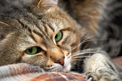 Лечение олезней глаз кошки Лечение болезней глаз у кошки