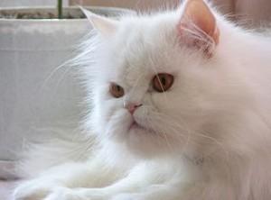 Кошки могут управлять хозяевами 300x222 Кошки могут управлять хозяевами